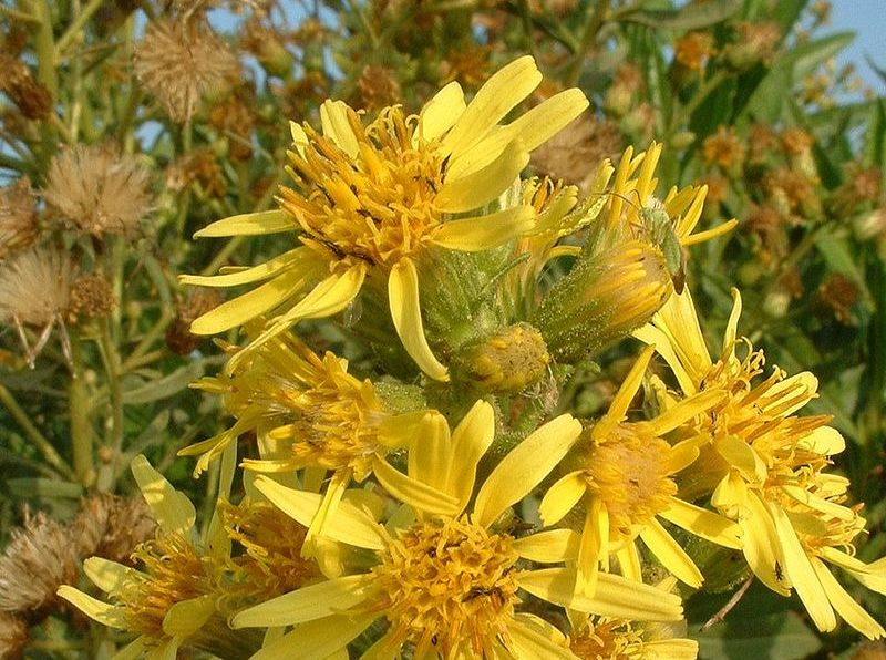 Inula viscosa flowers