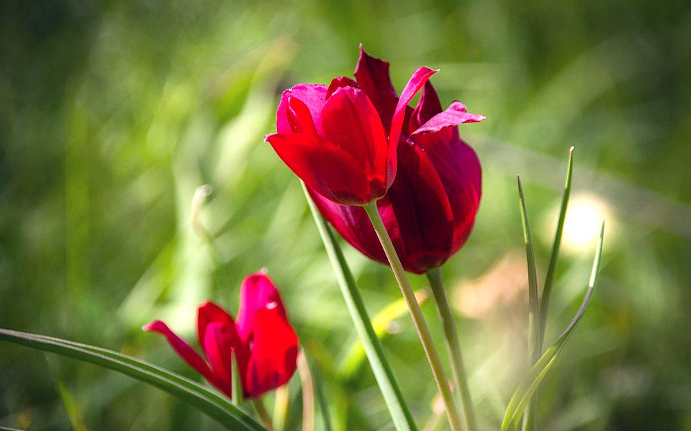 Tulipa Cypria flickr elias stilaugi